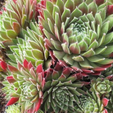 Sempervivum Ford Spring