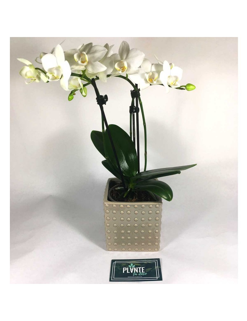 Orchidee mini Phalaenopsis blanche