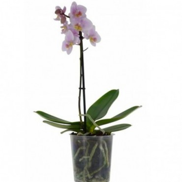Phalaenopsis Rose Pale