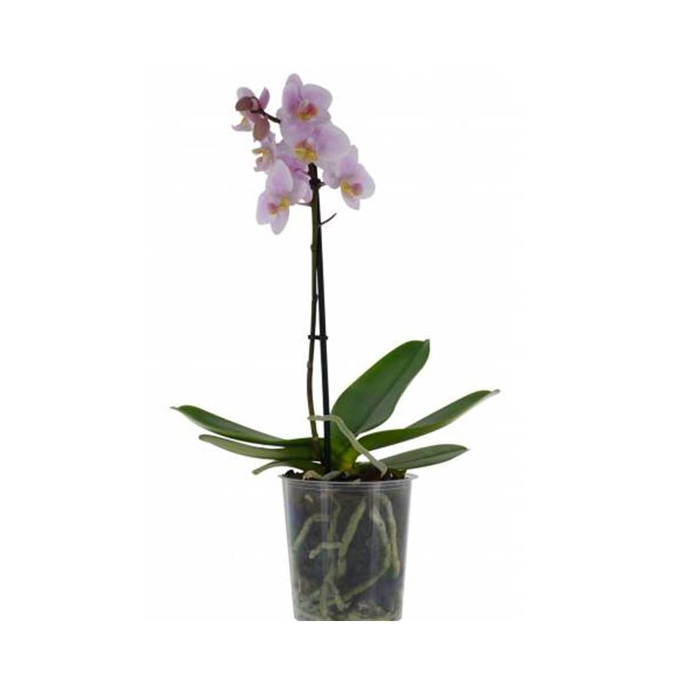 Phalaenopsis Rose Pale