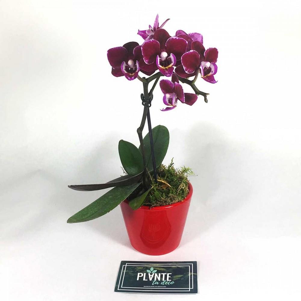 Orchidee mini Phalaenopsis violette