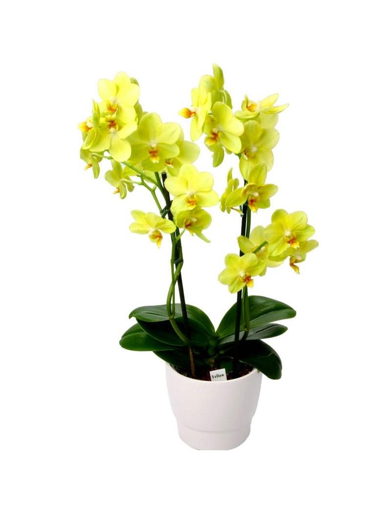 Phalaenopsis Jaune