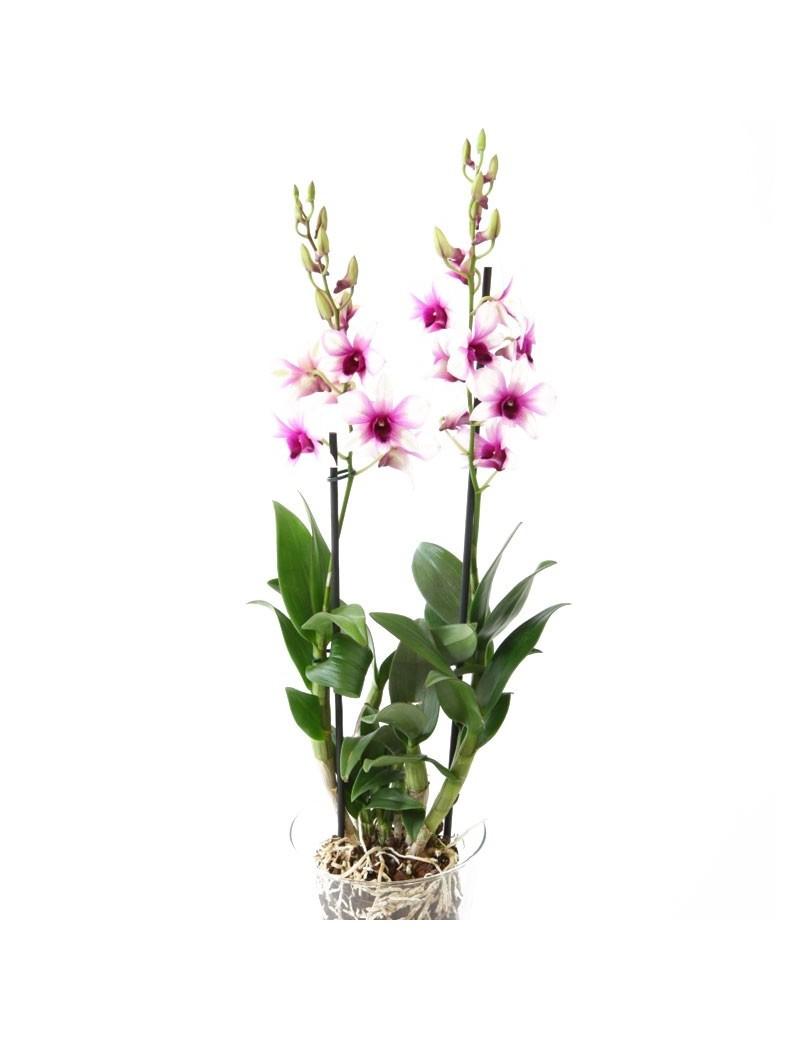 Dendrobium Bigibbum Rose