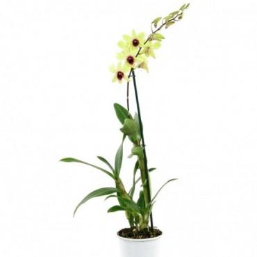 Dendrobium Bigibbum Jaune