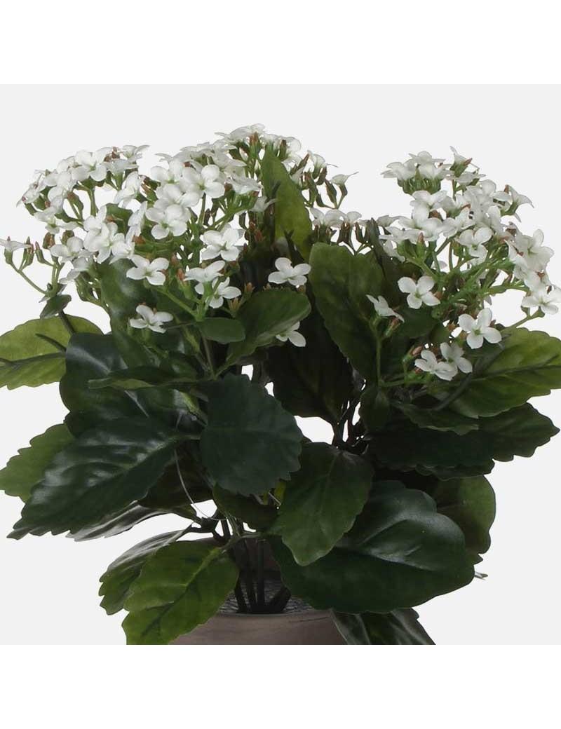 Kalanchoe Blanc