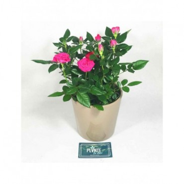 Rosier Fuchsia