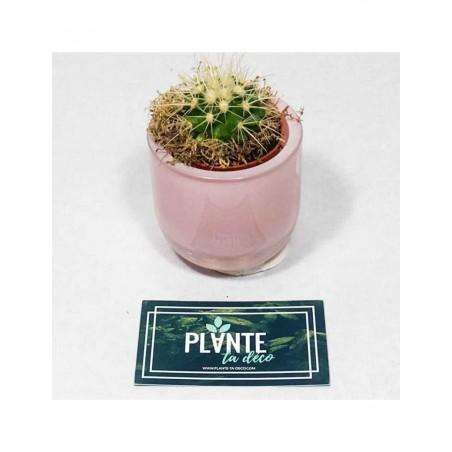 Mini Echinocactus Grusonii