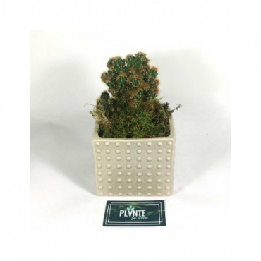 Cactus Cereus Peruvianus Monstruosus