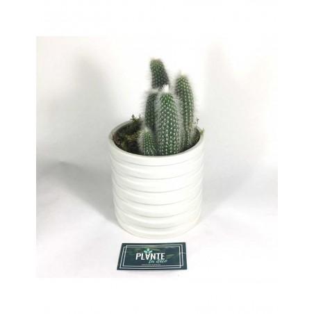 Cactus Cleistocactus