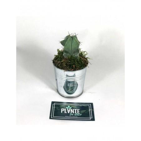 Mini Cactus Myrtillocactus