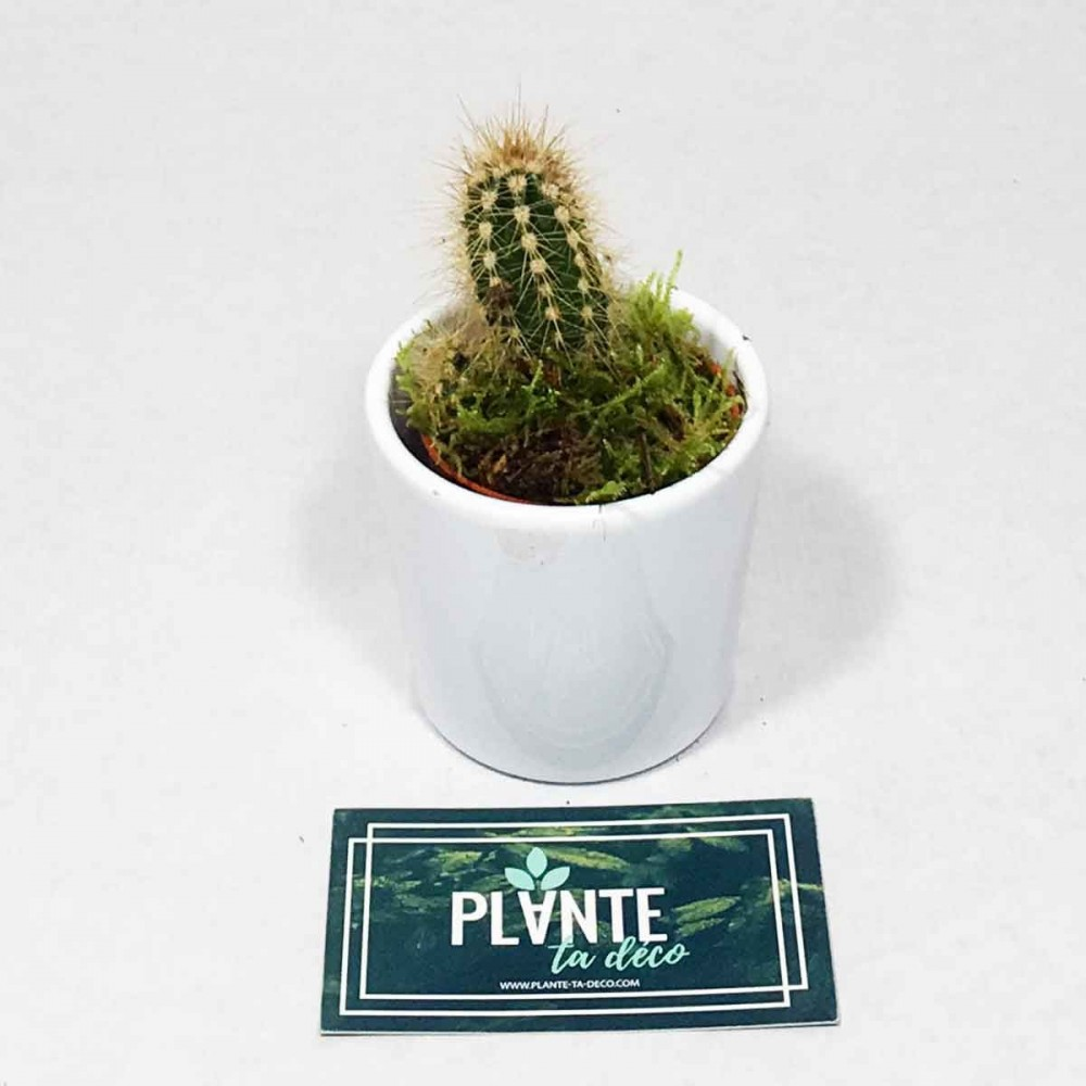 Mini Cactus Eriosyce Chilensis