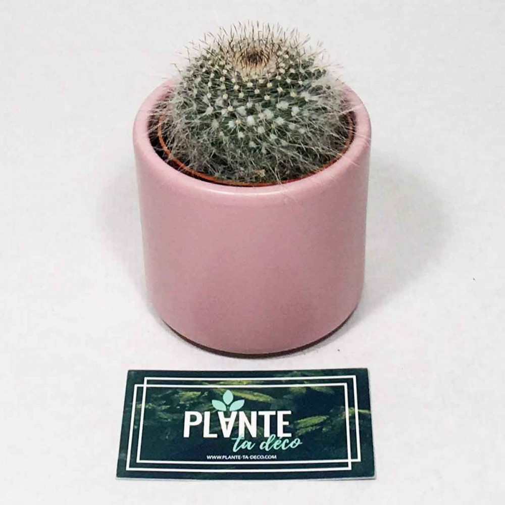 Mini Cactus Rebutia Muscula