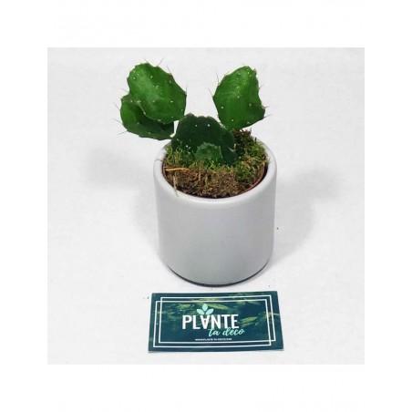 Mini Cactus Brasilopuntia Brasiliensis