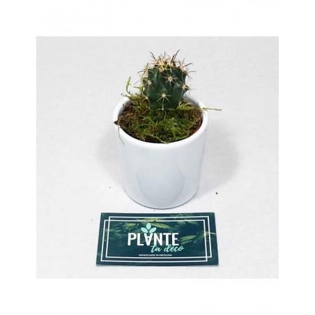 Mini Cactus Platyacanthus