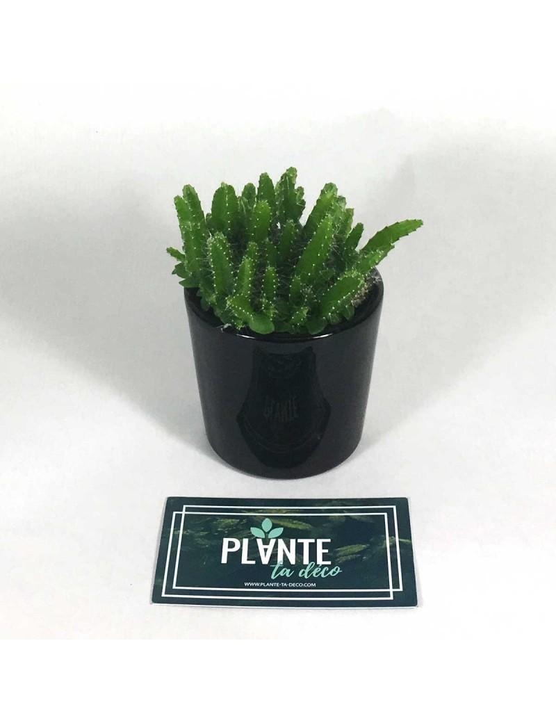 Mini Cactus Cereus