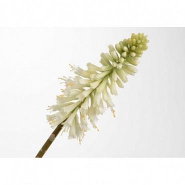 Kniphofia Jade H71 Blanc
