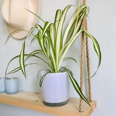 Chlorophytum laxum - Plante araignée