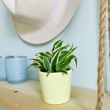 Mini Chlorophytum - Plante araignée