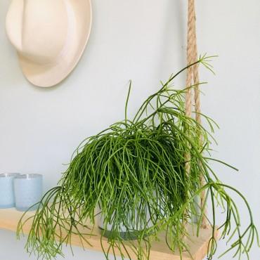 Rhipsalis Baccifera - Cactus Gui - Cactus épiphyte