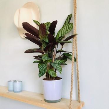 Calathea Zebrina - Calathea zèbré - Plante zèbre