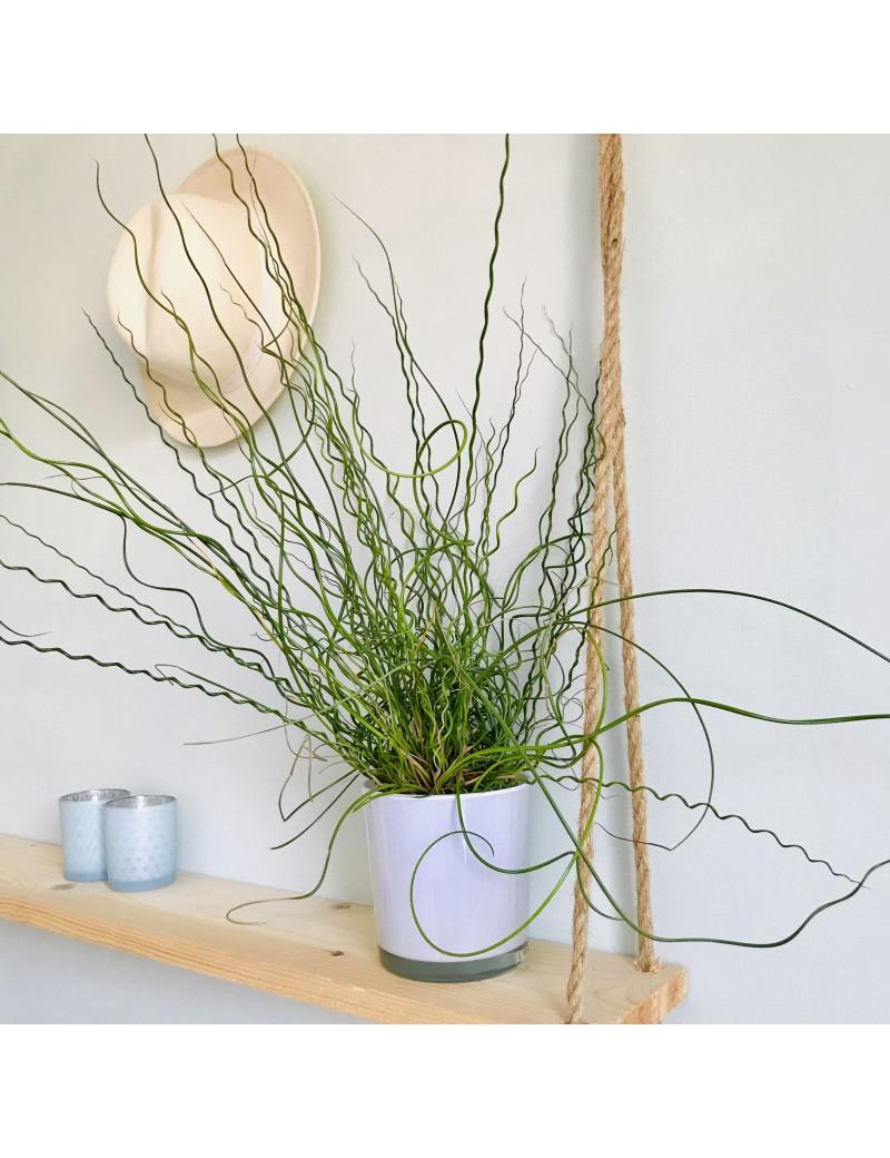 Plante Exterieur Qui Aime L Eau juncus effusus spiralis - jonc tortueux