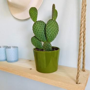 Cactus Opuntia Microdasys - Cactus raquettes