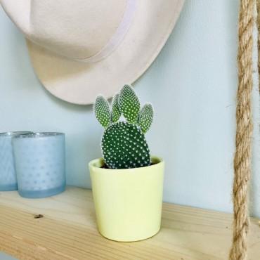Mini Cactus Opuntia Microdasys - Cactus raquettes
