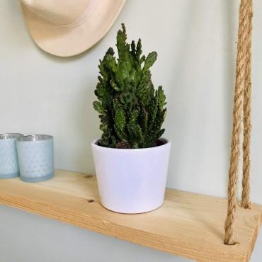 Cactus Cereus Peruvianus Monstruosus - Cierge Monstrueux