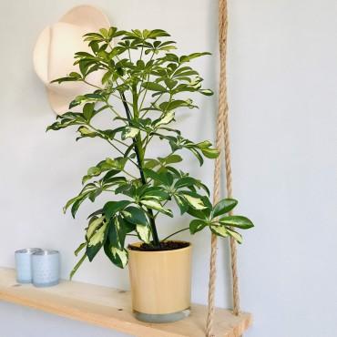 Schefflera Actinophylla - Arbre-parapluie - Arbre Ombrelle