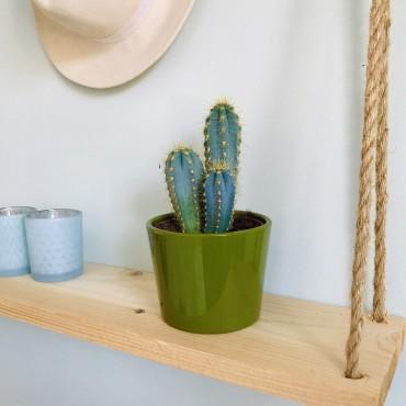 Cactus Pilosocereus Azureus - Cierge colonnaire