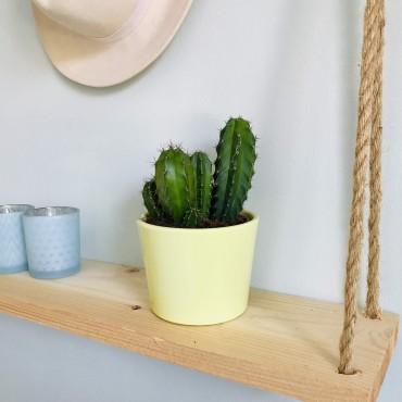Cactus Pilosocereus Pachycladus - Cierge colonnaire